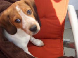 Unser 18 Monate junger Beagle sucht ein neues zu Hause