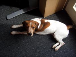 Foto 2 Unser 18 Monate junger Beagle sucht ein neues zu Hause