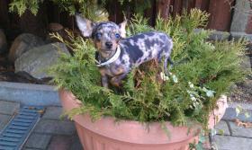 Foto 5 Unser Rocky ist jetzt bereit liebe Chihuahua Damen zu decken
