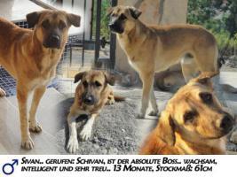 Unser ''Shivan'' (Alpha-Hund) sucht ein neues zu Hause