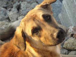 Foto 2 Unser ''Shivan'' (Alpha-Hund) sucht ein neues zu Hause