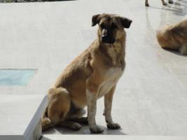 Foto 3 Unser ''Shivan'' (Alpha-Hund) sucht ein neues zu Hause