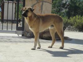 Foto 4 Unser ''Shivan'' (Alpha-Hund) sucht ein neues zu Hause