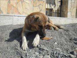 Foto 5 Unser ''Shivan'' (Alpha-Hund) sucht ein neues zu Hause