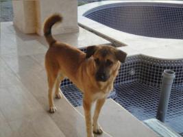 Foto 6 Unser ''Shivan'' (Alpha-Hund) sucht ein neues zu Hause