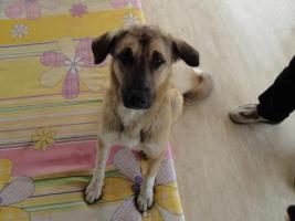 Foto 8 Unser ''Shivan'' (Alpha-Hund) sucht ein neues zu Hause