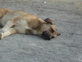 Foto 9 Unser ''Shivan'' (Alpha-Hund) sucht ein neues zu Hause