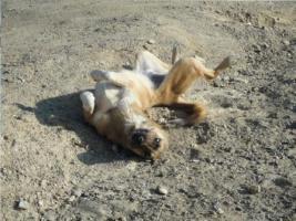 Foto 11 Unser ''Shivan'' (Alpha-Hund) sucht ein neues zu Hause