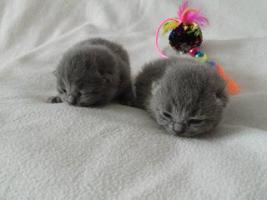 Foto 2 Unsere BKH-Kitten sind geboren!