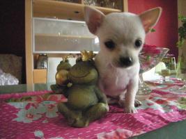 Unsere Chihuahuababys suchen ein neues zu Hause
