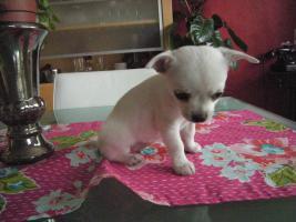 Foto 3 Unsere Chihuahuababys suchen ein neues zu Hause