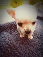 Foto 5 Unsere Chihuahuababys suchen ein neues zu Hause