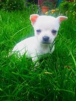 Foto 7 Unsere Chihuahuababys suchen ein neues zu Hause