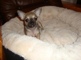 Unsere Chihuahuawelpen suchen neues Zuhause