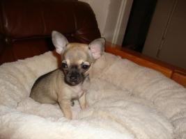 Foto 2 Unsere Chihuahuawelpen suchen neues Zuhause