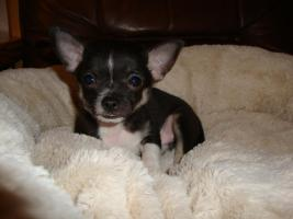 Foto 3 Unsere Chihuahuawelpen suchen neues Zuhause