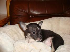 Foto 4 Unsere Chihuahuawelpen suchen neues Zuhause