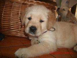 Unsere Gl�ckskinder sind da! Am Freitag den 13. Januar 2012 wurden 8 Goldie-Welpen geboren!