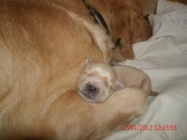 Foto 2 Unsere Gl�ckskinder sind da! Am Freitag den 13. Januar 2012 wurden 8 Goldie-Welpen geboren!