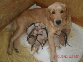Foto 3 Unsere Glückskinder sind da! Am Freitag den 13. Januar 2012 wurden 8 Goldie-Welpen geboren!