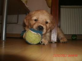Foto 5 Unsere Gl�ckskinder sind da! Am Freitag den 13. Januar 2012 wurden 8 Goldie-Welpen geboren!