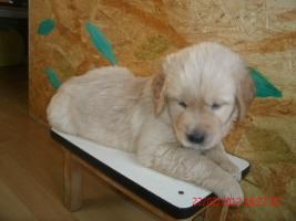 Foto 6 Unsere Glückskinder sind da! Am Freitag den 13. Januar 2012 wurden 8 Goldie-Welpen geboren!
