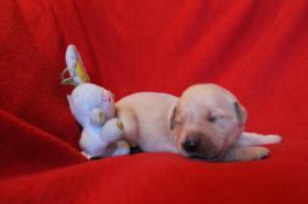 Foto 6 Unsere Golden Retriever Welpen sind am 29.12.2013 geboren !!