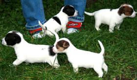 Foto 3 Unsere kleinen Jacky, s(kurz-Haar/Bein), suchen Familienanschluss