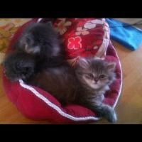 Foto 2 Unsere süßen Perserkitten suchen ein neues Zuhause!