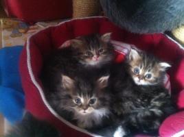 Foto 4 Unsere süßen Perserkitten suchen ein neues Zuhause!