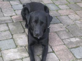 Foto 2 Urlaubsbetreuung f�r unseren Labradorr�den