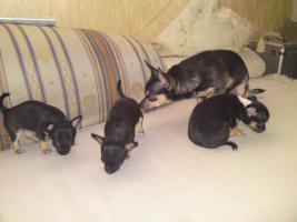 Ver.Chihuahua Papa, Mama u,3 Babay (auch einzeld)