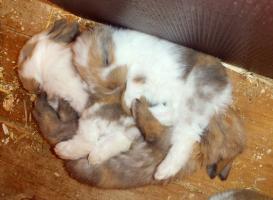 Foto 3 Vergebe zutrauliche NHD-mini Zwergwidder Babys