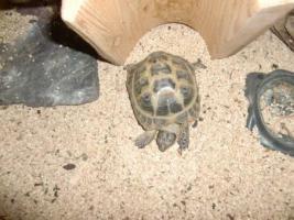 Foto 2 Vergeben unsere kleine süße Vierzehenschildkröte, ca. 10 Jahre alt inkl. Terrarium&sämtlichem Zubehör