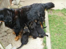 Verk.Bernersennen-Schäferhund Mischlinge!!!!