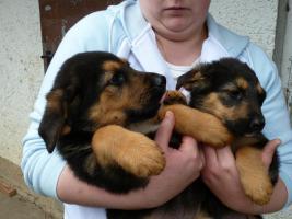 Foto 2 Verk.Bernersennen-Schäferhund Mischlinge!!!!