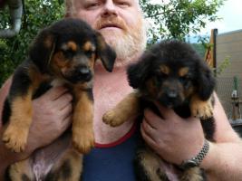Foto 6 Verk.Bernersennen-Schäferhund Mischlinge!!!!
