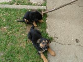 Foto 7 Verk.Bernersennen-Schäferhund Mischlinge!!!!