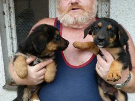 Foto 9 Verk.Bernersennen-Schäferhund Mischlinge!!!!