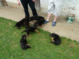 Foto 10 Verk.Bernersennen-Schäferhund Mischlinge!!!!