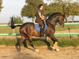 Foto 6 Verkauf Dressurpferd Kl. M, ggf. Tausch geg. Youngster