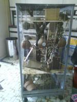 Foto 2 Verkaufe 2 Degu weibchen mit Käfig und Zubehör