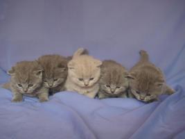 Verkaufe 2 weibliche und 3 mänliche BKH Katzen