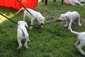 Verkaufe Bildhsch�ne Dogo Argentino Welpen