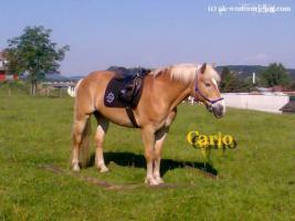 Verkaufe 'Carlo', Haflinger Wallach, geb. 1997