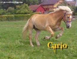 Foto 3 Verkaufe 'Carlo', Haflinger Wallach, geb. 1997
