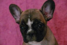 Verkaufe Französisches Bulldoggenweibchen