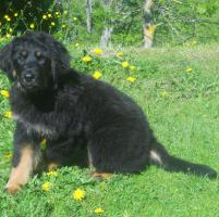 Foto 2 Verkaufe Hundewelpe