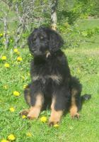 Foto 3 Verkaufe Hundewelpe