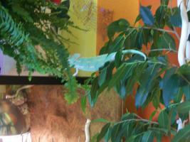 Foto 2 Verkaufe mein Jemenchameleon mit Terra